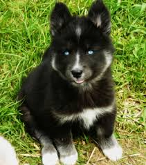brown and black husky puppies. Plain Puppies Picture A Mostly Black Husky On Brown And Black Husky Puppies S