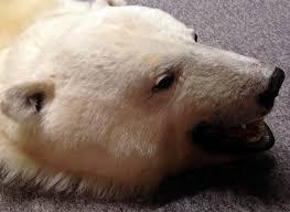 high quality polar bear skin special offer