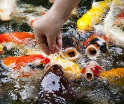 Koi Fish Feeding Tips Recommendations For Healthy Koi