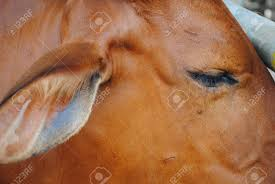 brown cow face. Perfect Face Close Up Of Brown Cow Face And Eye In Farm Stock Photo  71327522 Inside Brown Cow Face O