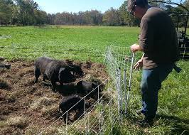 thomas prepares to let the pigs into the new paddock by aligning the end posts of both paddocks we can easily create an opening by pulling back a section