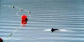 Bedrohte Schweinswale Artensterben Am Badestrand Tazde