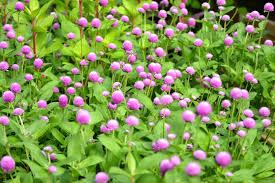 fall garden flowers. Garden Flowers For Summer And Fall Weddings- Gomphrena