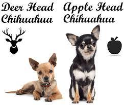 deer head vs apple head chihuahua what