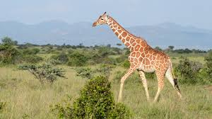 pictures of a giraffe. Interesting Pictures Photo Credit M F Kinnaird In Pictures Of A Giraffe E