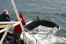 Afbeeldingsresultaat voor whale watching dalvik