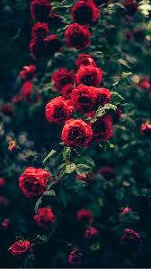 Red Roses Flowers wallpaper ...