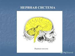 Презентация на тему НЕРВНАЯ СИСТЕМА Нервная система ПЛАН ЛЕКЦИИ  1 НЕРВНАЯ СИСТЕМА Нервная система