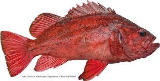 Rockfish Identification Chart California Marine Sportfish Identification Rockfish