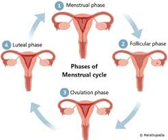 Menstrual Cycle Phases Chart Phases Of Menstrual Cycle
