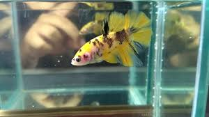 Nih baru yang cakep Marsupilami nya !! Ikan cupang plakat koi yellow Betta  fish - YouTube