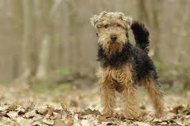 Science Source - Welsh Terrier Dog