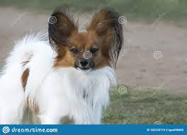 Dog Breed Papillon Plays On The Lawn ...
