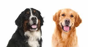 bernese mountain dog mix. Plain Mix Bernese Mountain Dog Golden Retriever Mix On Bernese Mountain Dog Mix N