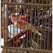 Burung kenari adalah burung tipe penyanyi dan petarung. Burung Kenari Kenari Kenari Holland Menerima Jual Beli Burung Kenari Kandang Kenari Kandang Ternak Kenari Kandang Burung Kandang Sangkar Burung Sangkar Rumah Burung Love Bird Jakarta Barat Jakarta Indonetwork