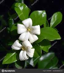 White Flowers Orange Jessamine Murraya ...