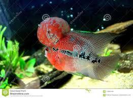 Aquarium Design For Flowerhorn Fish Flower Horn Cichlid Cichlasoma Trimaculatum Stock