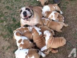 2 litters of akc english bulldog puppies