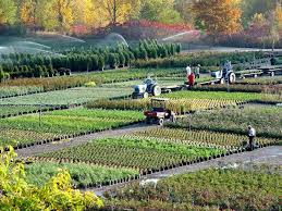 one of our many fields stocked with hardy nursery stock