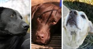 Labrador Color Chart What Determines The Coat Colors Of Labrador Retrievers