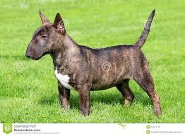 Light Box Terrier For Sale Miniature Bull Terrier Stock Image Image Of Lovely Meadow