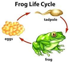 tree frog template frog life cycle template edunova co