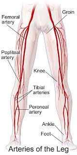 Leg Wikipedia Femoral Artery Wikipedia Medical Terminology Arteries