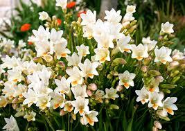 Flori de Primavara: Cele mai frumoase 10 flori pentru gradina