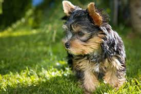 teacup yorkie cute but with a cruel origin find out more
