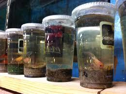 Repurposed Fileplastic Cups Repurposed As Fish Bowlsjpg Wikimedia Commons