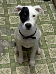 bull terrier pitbull mix. Fine Pitbull Bull Terrier Pit Mix Alaska The Rottweiler American In Pitbull A