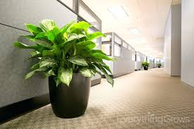 plants for office space. interesting office perfect office desk plants indoor  aglaonema silver bay in corridor inside for space