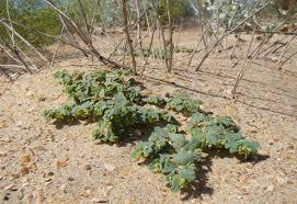Euphorbia peplis - Wikipedia