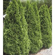 5-Gallon Emerald Green Arborvitae Screening Shrub (L5480)