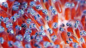baby clown fish eggs. Delighful Fish Throughout Baby Clown Fish Eggs M