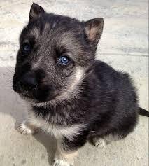 black german shepherd puppies with blue eyes. Plain Shepherd My New Puppy That I Got Last Night Heu0027s A German ShepardHusky Mix With Black Shepherd Puppies Blue Eyes O
