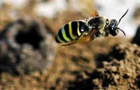 ground dwelling bees ground nesting bees thebuzz osu
