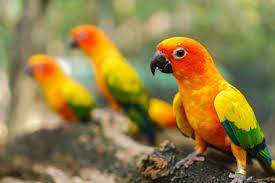 Sun Conure Growth Chart Beautiful Colorful Sun Conure Parrot Birds On The Tree