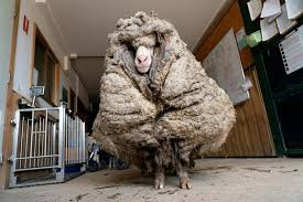 Rescued Australian sheep freed from wool weighing 78 pounds | Reuters.com