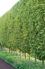 Hornbeam Hedge in Pennsylvania. A sheared fastigiate European hornbeam hedge  (under-planted with liriope) lines a driveway in Villanova, PA.