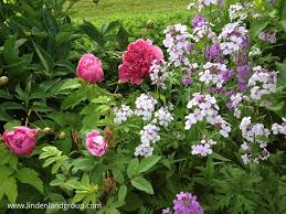 rugosa roses peonies and dames rocket are some of my favorite spring fragrant flowers