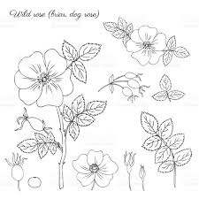 Small Picture Wild Rose Briar Hand Drawn Dogrose Berry Vector Illustration