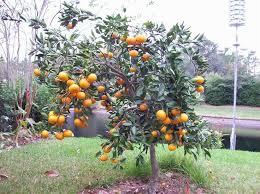 TopTropicalscom  Rare Plants For Home And GardenSmall Orange Fruit On Tree