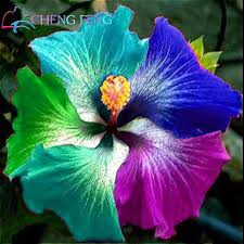 hibiscus flowers 100 pcs giant rainbow hibiscus flower seeds chinese diy plant