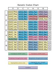 Universal Genetic Code Chart Genetic Code Chart Pdf