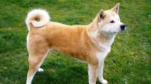 a large spitz breed of dog that originated from mountainous regions of an it is known for its two breed types the akita inu anese akita and the