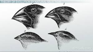 who was charles darwin theory of evolution natural selection  theory of evolution natural selection video lesson transcript com