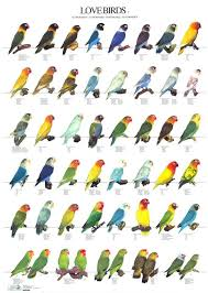 Lovebird Color Mutations Chart Colour Way Selection Chart For Pots Love Birds Pet