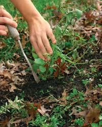 how to get rid of weeds in garden. Kill Weeds At Their Roots But Leave The Soil\u2014and Dormant Weed Seeds\u2014largely Undisturbed. Photo/Illustration: Brandi Spade How To Get Rid Of In Garden S