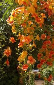 abanoz çiçeği